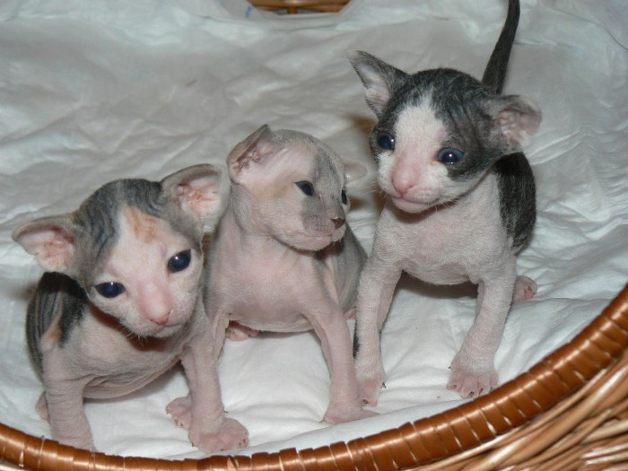 pink eye cats treatment