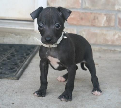 Italian rey hound puppies need new home