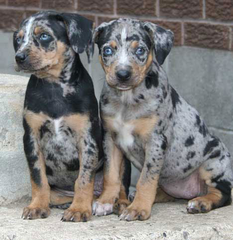 Catahoula puppies  need new home