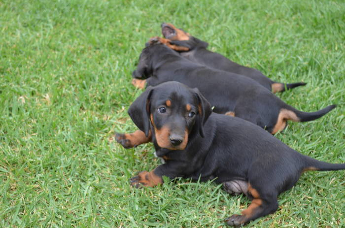 Mini Dachshound puppies need loving home