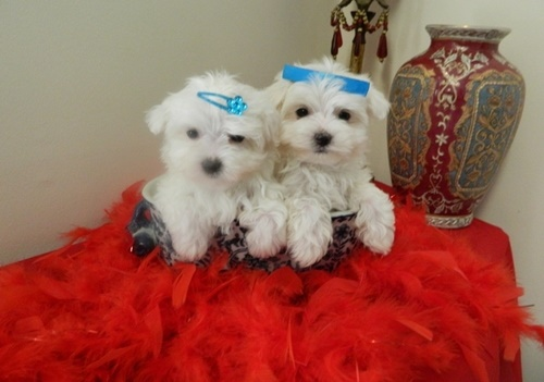 Maltese puppies for sale Tcup