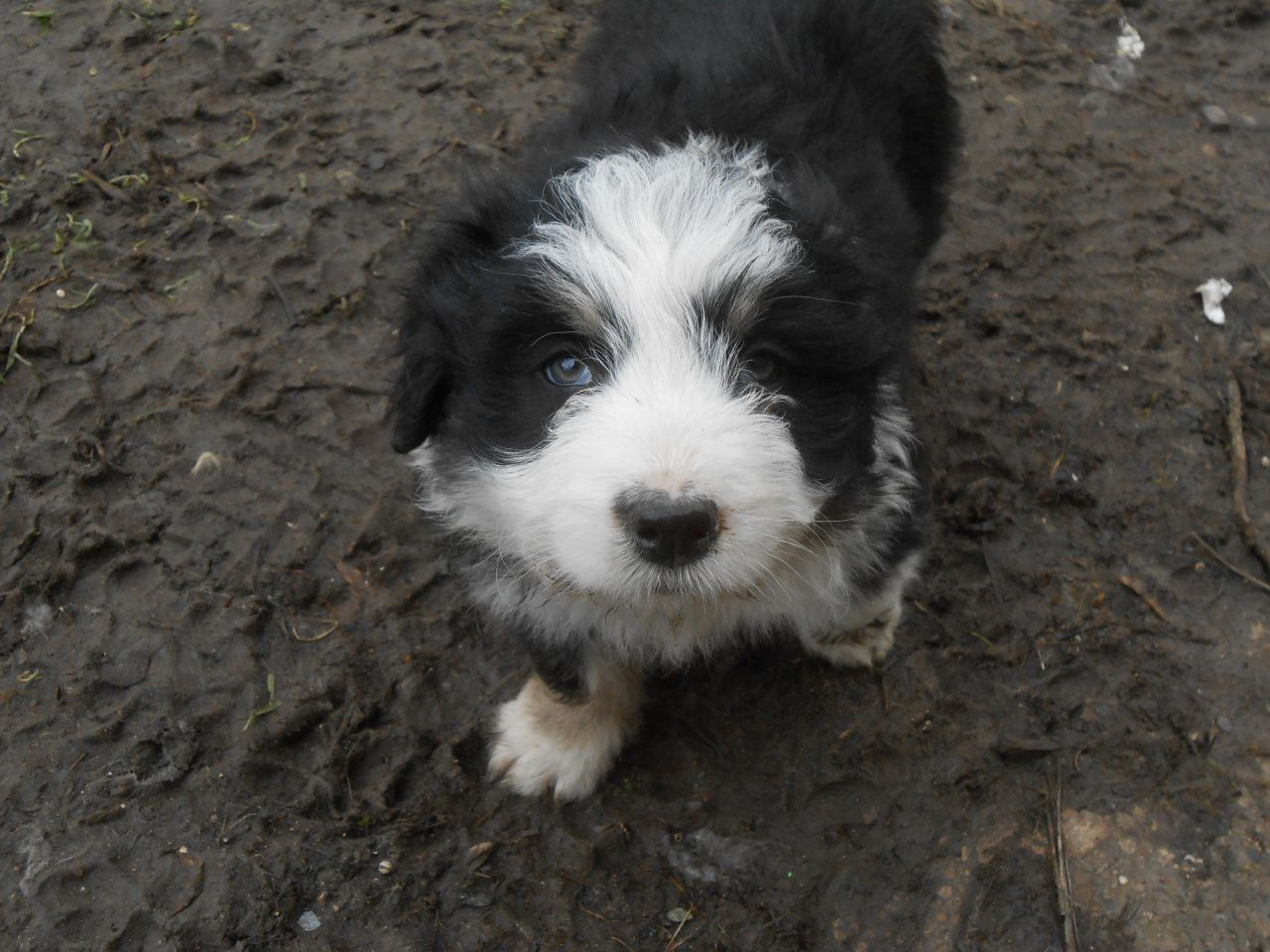 Working Bearded Collie Pups