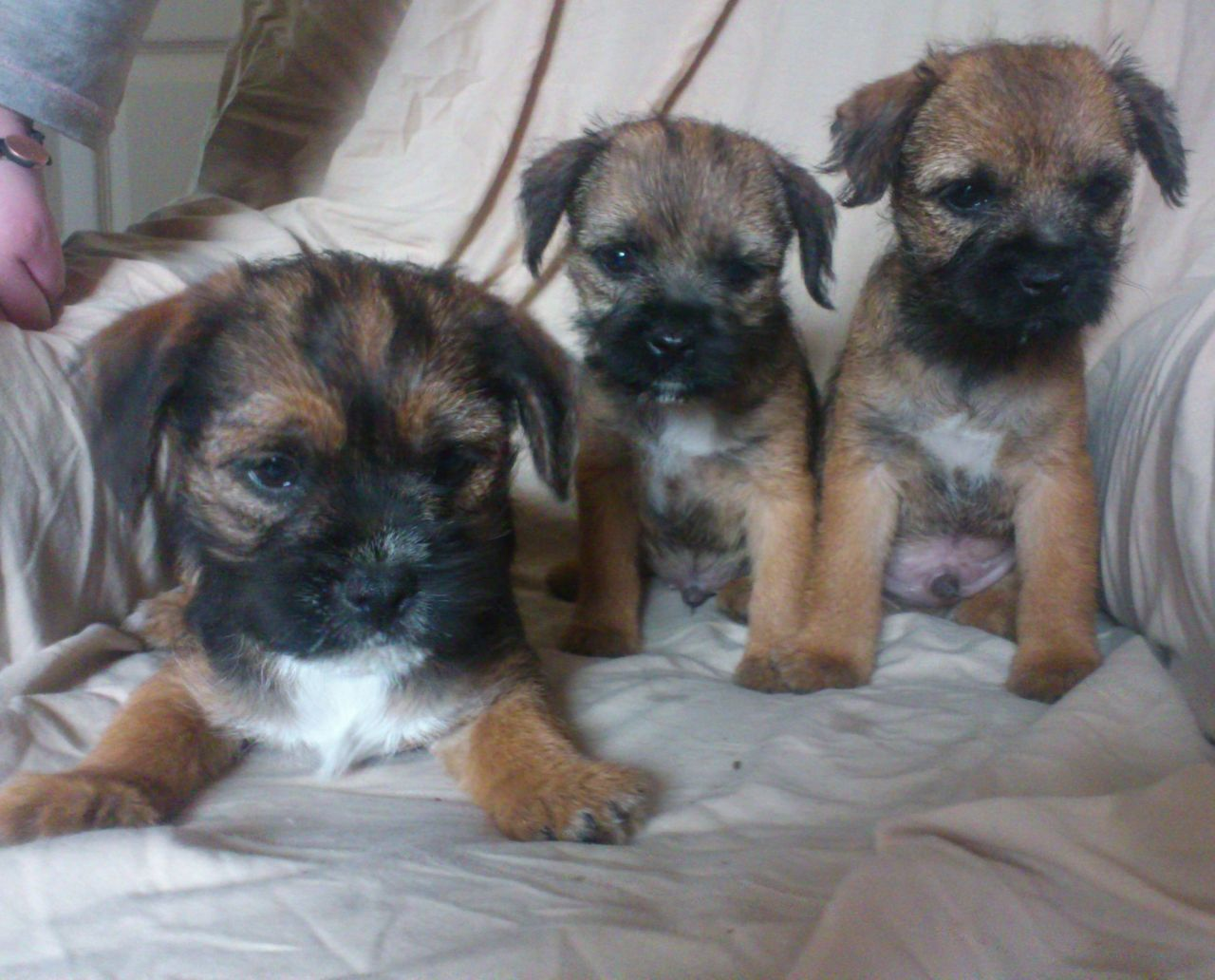 Gorgeous Litter Of Border Terrier Puppies