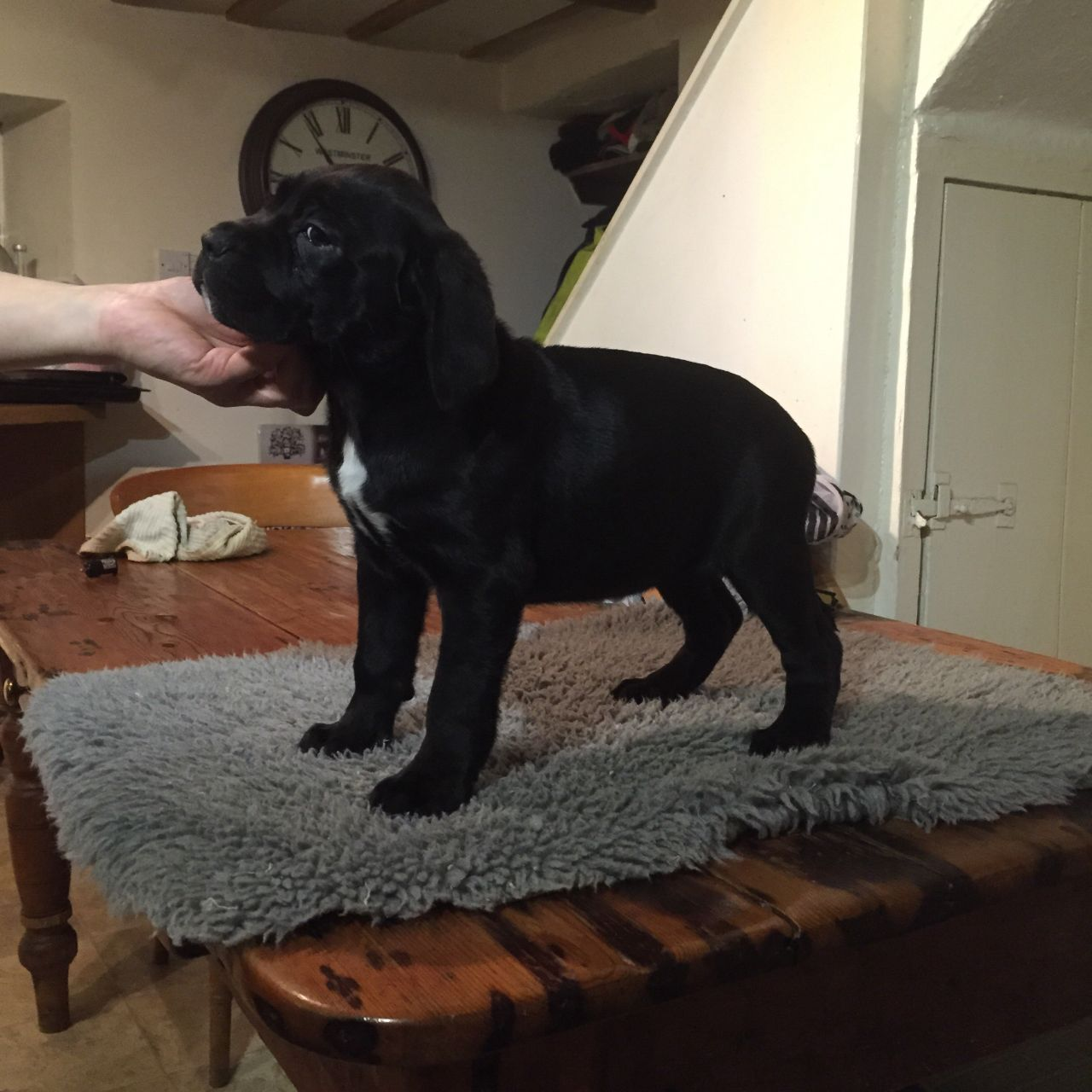 Chunky , Outgoing Top Quality Corso Puppies