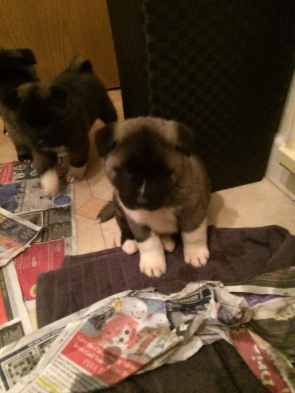 Akita Pups - Ready To Go Now