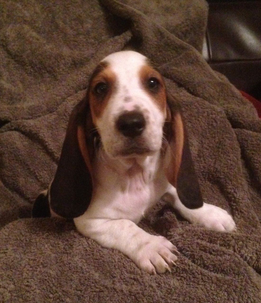 Basset Hound Female Puppies