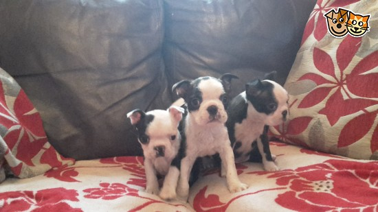 Registered Red And White Boston Terriers