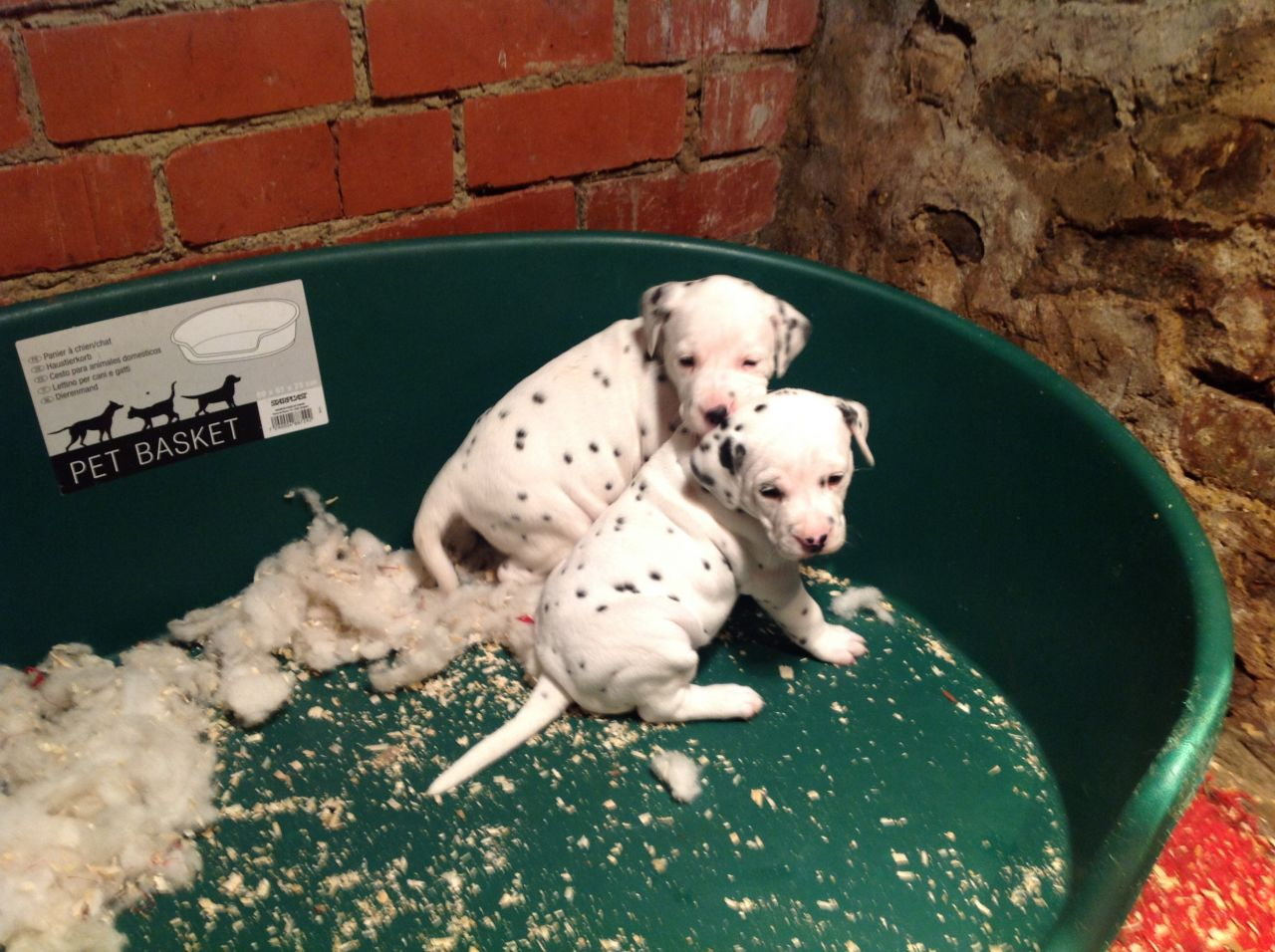Dalmatian Puppies, Pedigree