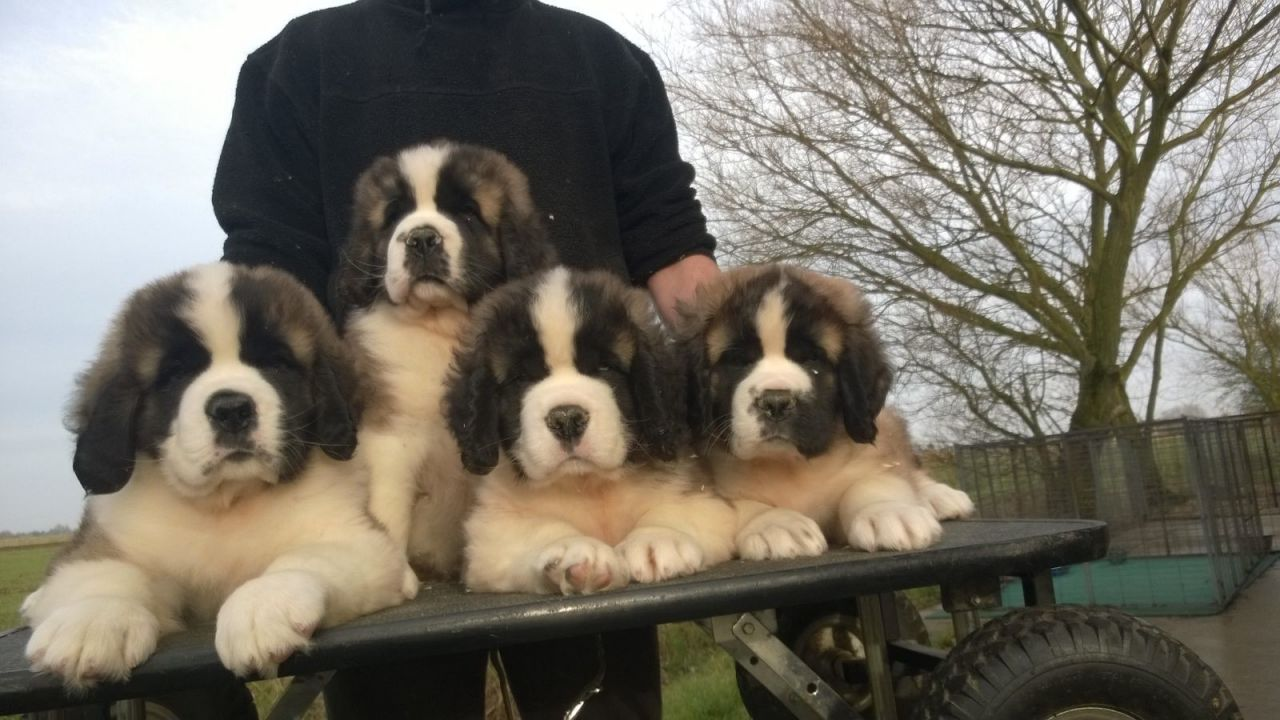 Saint Bernard Puppies Available