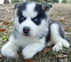 2 Gorgeous Big Blue Eyes Siberian Husky Puppies For Sale