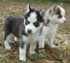 Siberian Husky Puppies ready to now