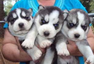 5 Beautiful Siberian Husky Puppies For Sale