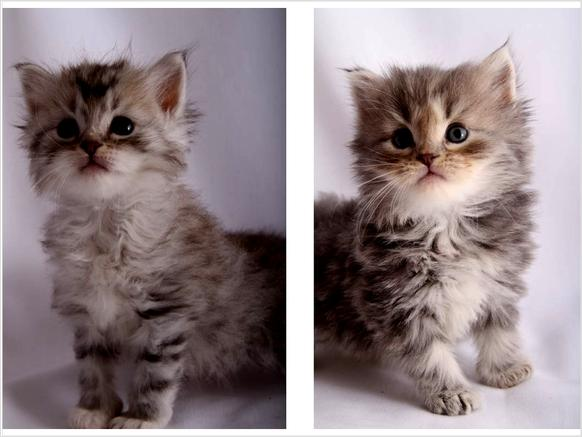 ... Breeders, Abyssinian Cats breed, Abyssinian Cats for adoption