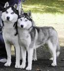 two very beautiful huskies for sale.
