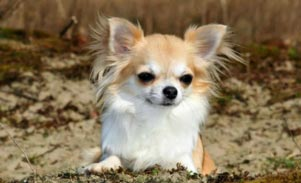 Long Haired Chihuahua sale