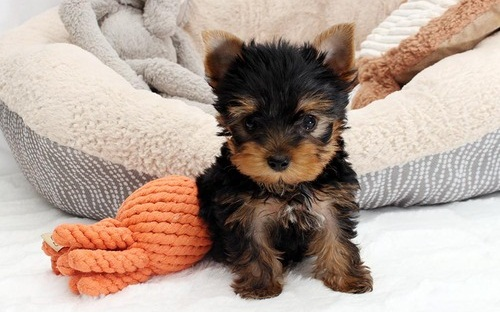 Adorable Teacup Yorkieshire Terrier puppies for sale