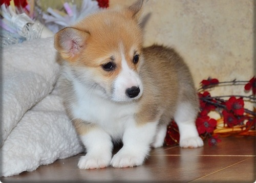 Good Heart and Attractive  Health Pembroke Welsh Corgi puppies  for sale
