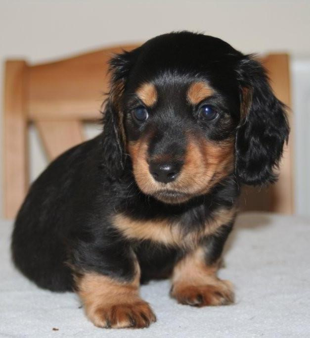 Fantastic 3 Health  Dachshund  puppies for sale
